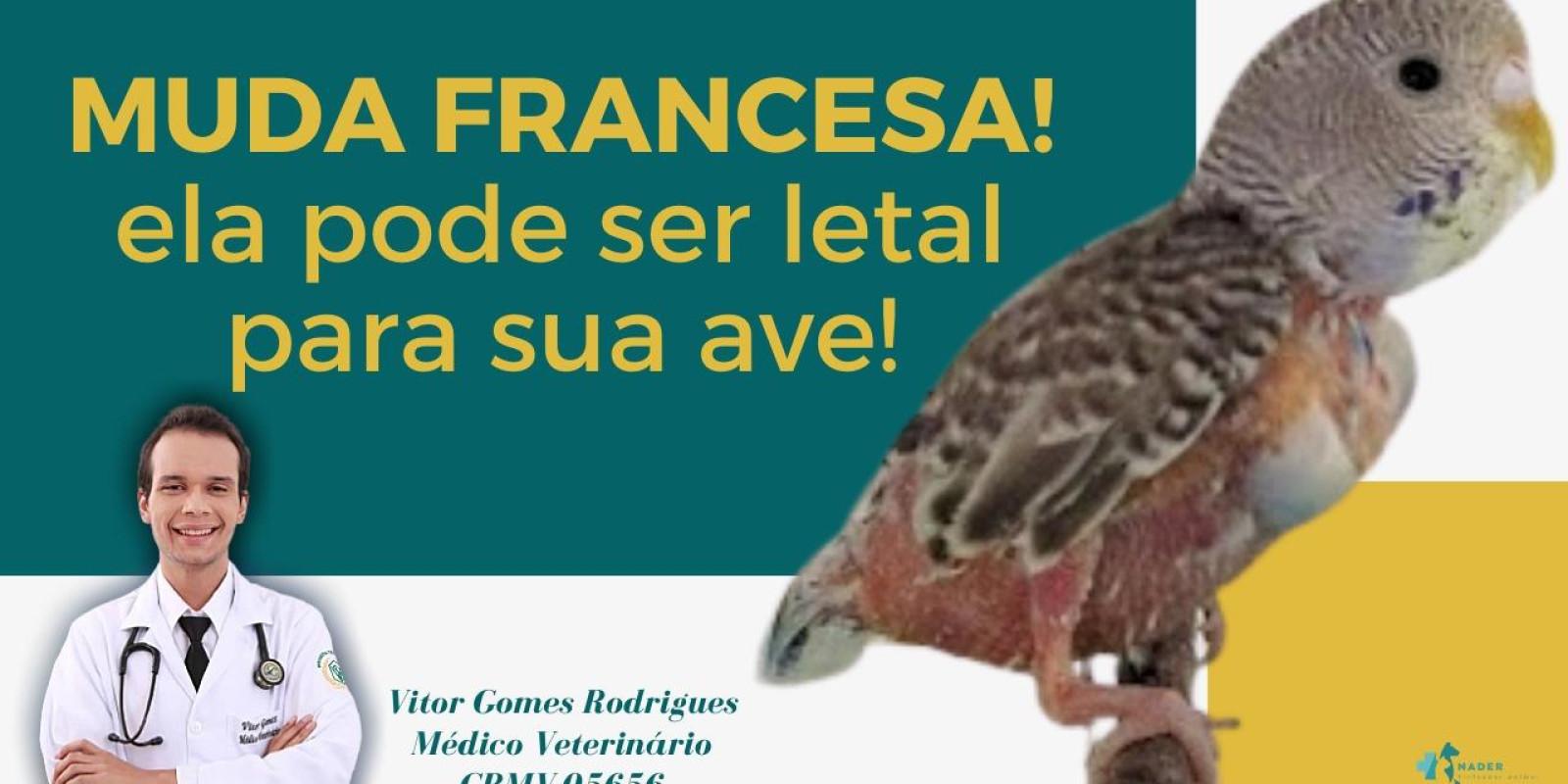 Queda de penas da sua ave pode ser sinal de muda-francesa e pode matar!